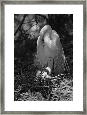 Great White Egret Mom And Chicks - Mom Needs A Nap Framed Print by Suzanne Gaff