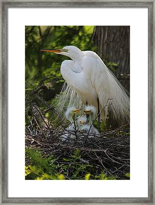 Great White Egret Mom And Chicks Framed Print by Suzanne Gaff