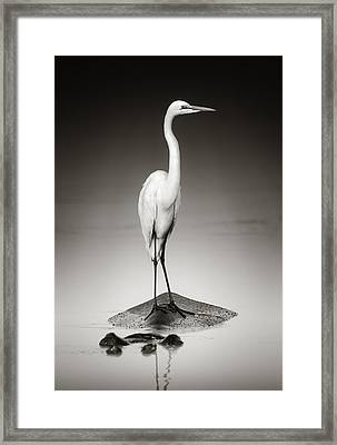 Great White Egret On Hippo Framed Print