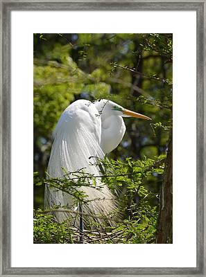 Great White Egret On Nest Framed Print