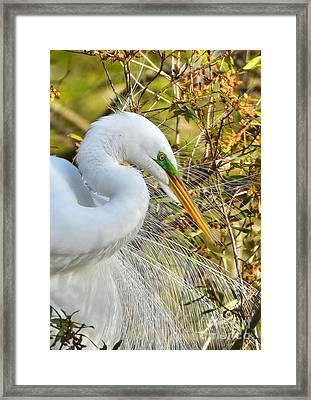 Great White Egret Portrait Framed Print by Kathy Baccari