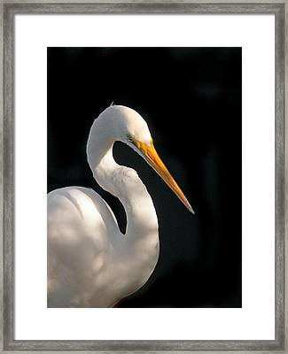 Great White Egret Portrait. Merritt Island N.w.r. Framed Print