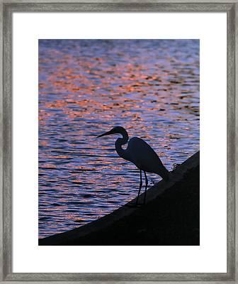 Great White Egret Silhouette  Framed Print