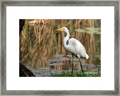 Great White Egret Taking A Stroll Framed Print by Sabrina L Ryan