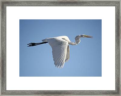 Great White Egret Wings Down Framed Print by Paulette Thomas
