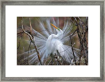 Great White Egret With Breeding Plumage Framed Print by Kathy Baccari