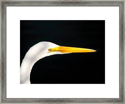 Great White Headshot. Merritt Island N.w.r. Framed Print