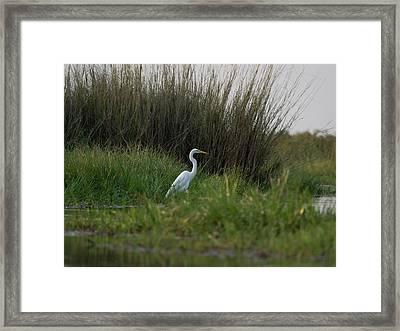 Great White Heron Ardea Alba, Okavango Framed Print