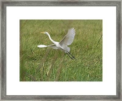 Great White Heron Ardea Alba Taking Framed Print