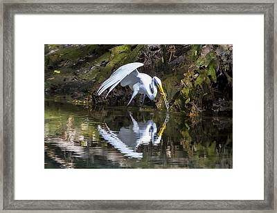 Great White Heron Fishing Framed Print by Charles Warren