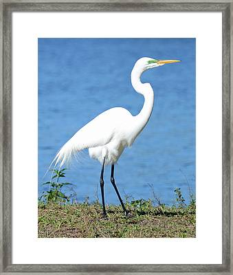 Great White Heron Framed Print by Julie Cameron
