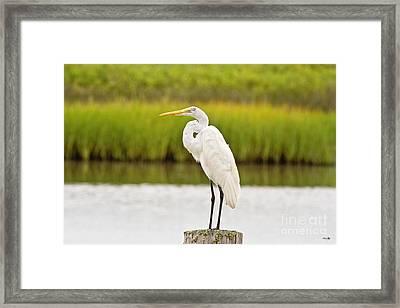 Great White Heron Framed Print by Scott Pellegrin
