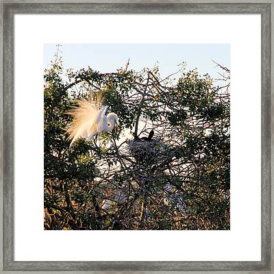 Great White Heron With Chicks Framed Print by Rosalie Scanlon