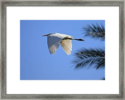 Framed Print featuring the photograph Great White In Flight by Penny Meyers