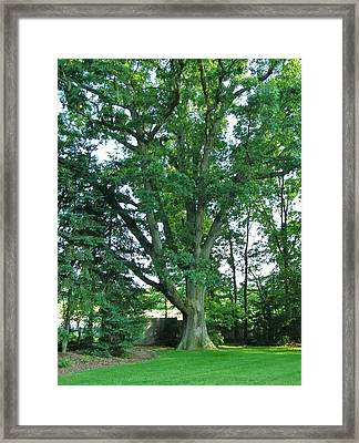 Great White Oak Framed Print