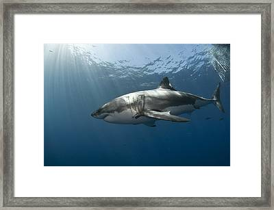 Great White Rays Framed Print by David Valencia