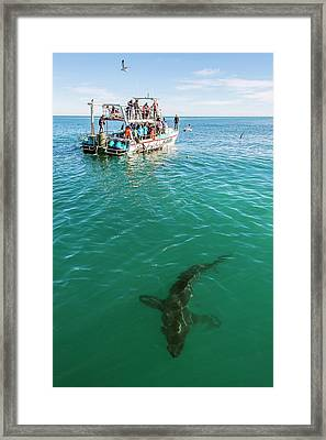 Great White Shark And Boat Framed Print