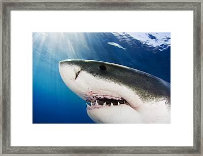 Great White Shark Carcharodon Framed Print
