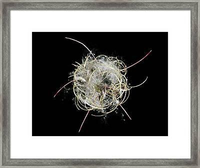 Great Willowherb (epilobium Hirsutum) Framed Print by Gilles Mermet