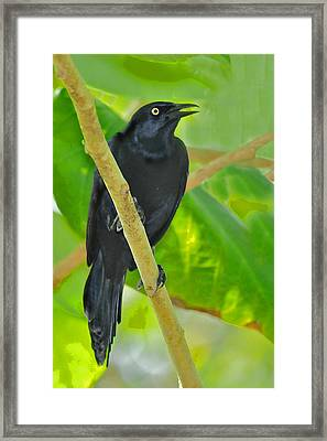 Greater Antillean Grackle Framed Print