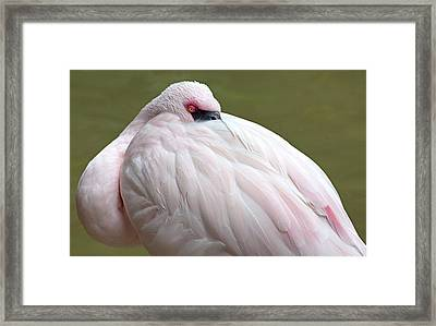 Greater Flamingo Framed Print