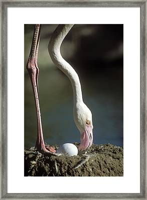 Greater Flamingo And Egg Framed Print