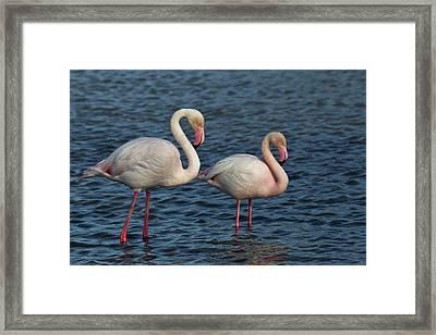 Greater Flamingo, Parc Ornithologique Framed Print by Adam Jones