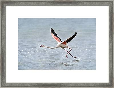 Greater Flamingo Taking Flight Framed Print