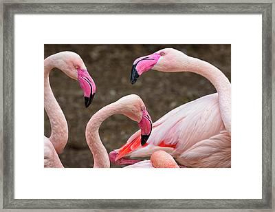 Greater Flamingos (captive Framed Print