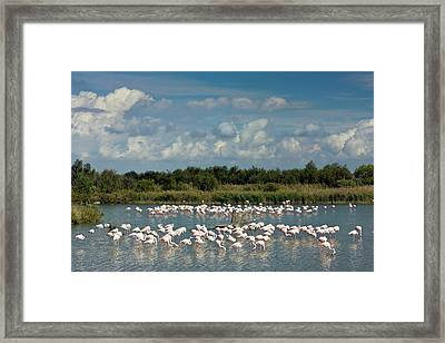 Greater Flamingos Foraging Framed Print