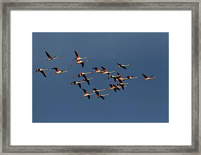 Greater Flamingos In Flight, Camargue Framed Print