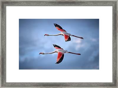 Greater Flamingos Framed Print