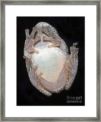 Greater Gray Tree Frog Framed Print by Scott Camazine
