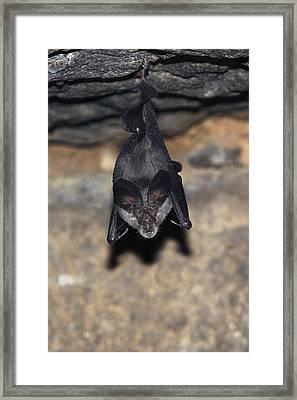 Greater Horseshoe Bat Framed Print
