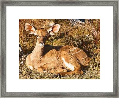 Greater Kudu Calf Framed Print by Millard H. Sharp
