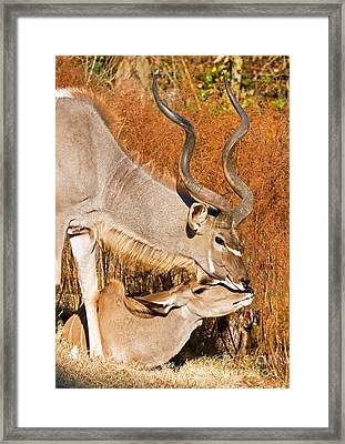 Greater Kudu Male And Female Framed Print by Millard H. Sharp