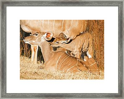 Greater Kudu Mother And Baby Framed Print by Millard H. Sharp