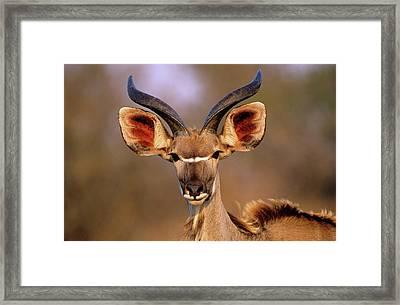 Greater Kudu Framed Print by Tony Camacho/science Photo Library