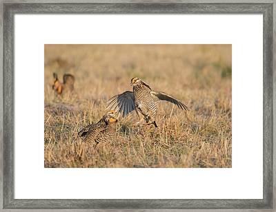 Greater Prairie-chickens (tympanuchus Framed Print