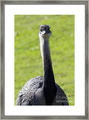 Greater Rhea 7d9043 Framed Print by Wingsdomain Art and Photography