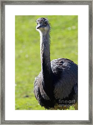 Greater Rhea 7d9045 Framed Print by Wingsdomain Art and Photography