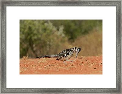 Greater Roadrunner (geococcyx Framed Print