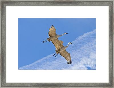 Greater Sandhill Cranes In Flight Framed Print by William H Mullins