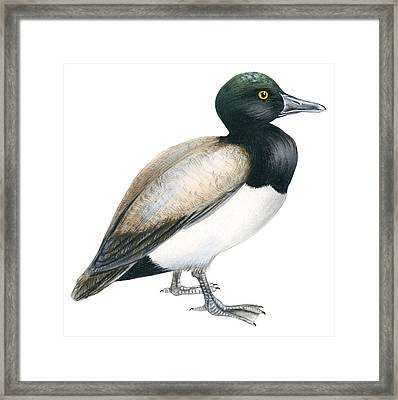 Greater Scaup Framed Print by Anonymous