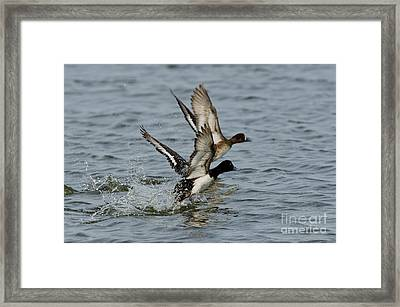 Greater Scaup Pair Framed Print by Anthony Mercieca