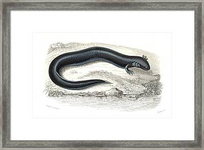Greater Siren Framed Print by Collection Abecasis
