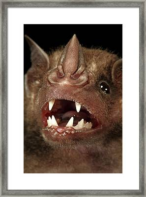 Greater Spear-nosed Bat Framed Print by Christian Ziegler
