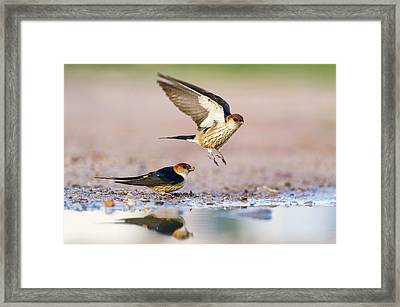 Greater Striped Swallows Framed Print