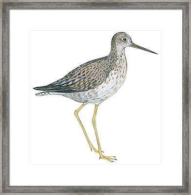 Greater Yellowlegs  Framed Print by Anonymous