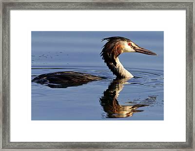 Grebe At Sunset Framed Print